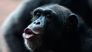 قرد شمبانزي