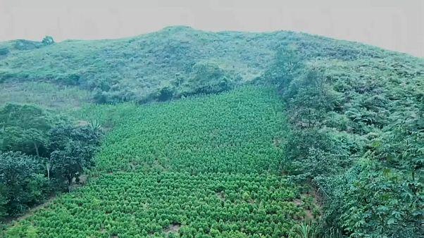 Brutales Vorgehen gegen Koka-Bauern