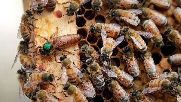زنبورها و ملکه در کندو
