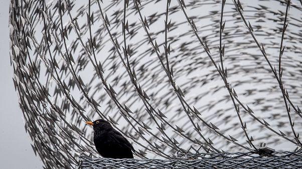 Un mirlo se sienta entre alambres de púas en la pared de la prisión de Frankfurt, Alemania, el 15 de junio de 2020.