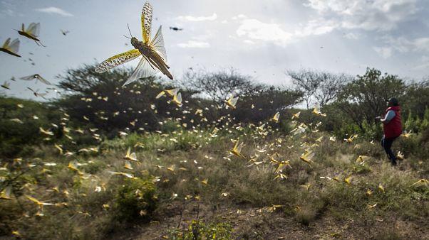 Locuste nel corno d'Africa
