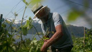 Bjørn Ove Bergum podando sarmientos en su viña de Slinde