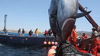 Pesca de atunes en la Almadraba