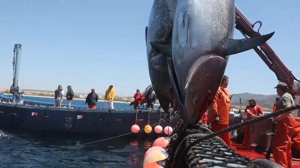 Algenplage vor Gibraltar ist Gift für Thunfischfang