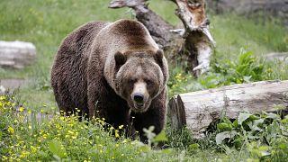 أعداد من الدببة تعيش في شمال إيطاليا