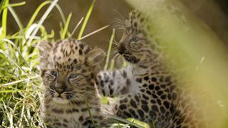 Зоопарк предлагает смотреть на редких котят