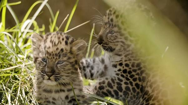 Endangered Amur leopard cubs venture out for first time at San Diego Zoo