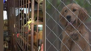 """ناشطون يحاولون إنقاذ الكلاب قبل أن يلتهمها الناس في مهرجان """"لحوم الكلاب"""" السنوي بالصين"""