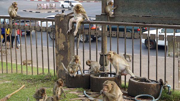 Lopburi, Stadt der Affen