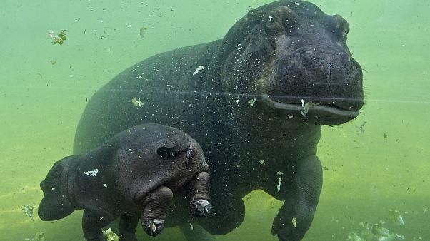 Nilpferd-Baby Gloria mit Mutter im Außenbecken