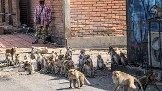 شاهد: قردة تحبس سكان مدينة تايلاندية وسكان يلجؤون للنمور والتماسيح لإخافتها