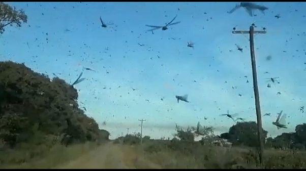 Una plaga de langostas en Argentina   Euronews