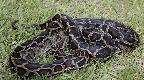 Piton yılanı (arşiv)