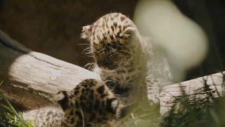 Леопардята в Сан-Диего