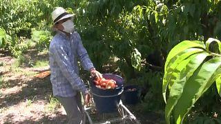 """""""Красный Крест"""" помогает сбору фруктов"""