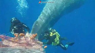 Un cachalote atrapado en redes de pesca ilegal
