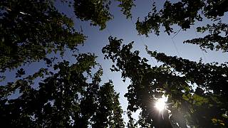 In this picture taken Wednesday, Aug. 29, 2018, hops plant are silhouetted against the sun at a hopfield near the village of Rocov, Czech Republic