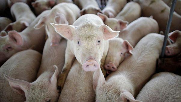 آیا ویروس آنفولانزای خوکی منشا یک بیماری همهگیر دیگر خواهد بود؟
