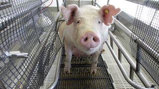 Archives : un élevage de porcs aux Etats-Unis, le 11 août 2012