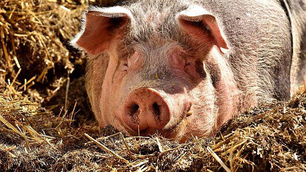 Обнаружен новый штамм свиного гриппа, который может привести к пандемии