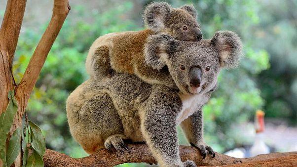 Koalas in New South Wales, Australien