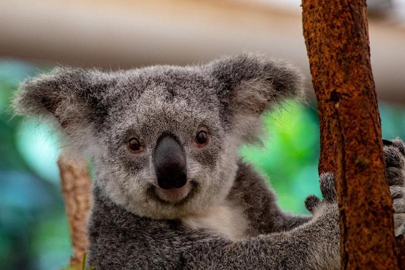 Koala in der Wildnis