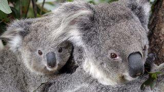 Koalák egy állatkertben Sydney-ben