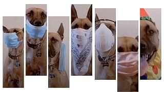 سگ ماسکپوش نحوههای برخورد با ویروس کرونا را اجرا میکند