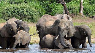 Botsvana'da 350'den fazla filin 'gizemli' ölüm nedeni açıklanamıyor