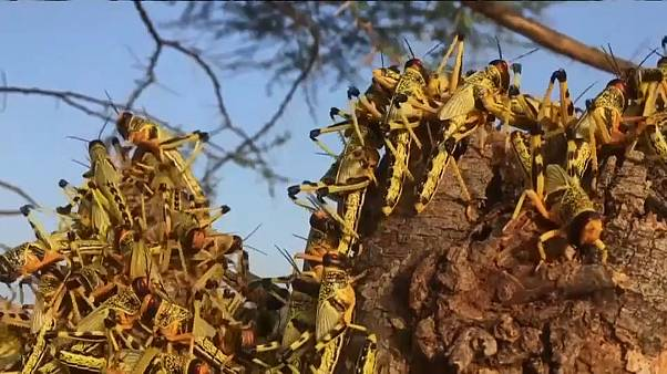 Locusts in Kenya threaten to cut off food supplies