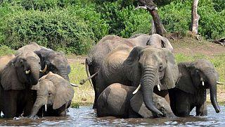 مرگ اسرارآمیز دستکم ۲۷۵ فیل در بوتسوانا
