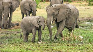 В Ботсване при загадочных обстоятельствах умерли более 350 слонов