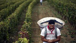 Francia szőlőföldön dolgozó munkás