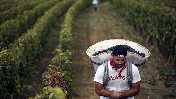 Champagne: Migranten wurden als Weinleser ausgenutzt
