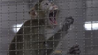 قرد فمن الماكاك في قفص داخل مركز أبحاث في تايلاند