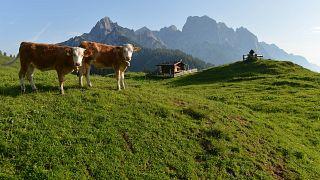 """""""Kuh-Urteil"""": Österreichische Landwirte machen Almen dicht"""