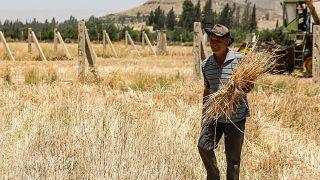 موسم قمح جيد في سوريا يحيي الأمل بالقدرة على مواجهة شبح الجوع