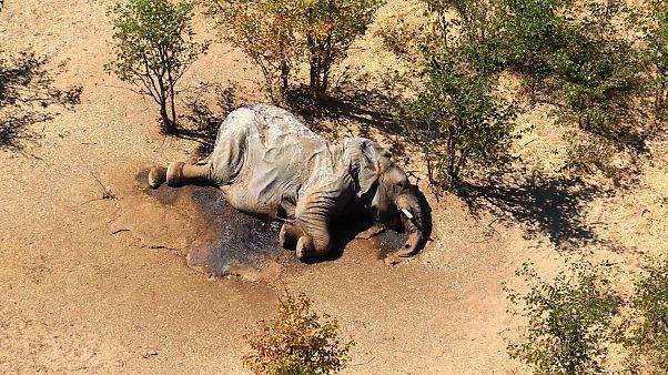 Toter Elefant in Botswana