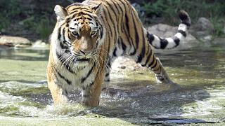 A siberian tiger walks in the pool of its compound at the Schoenbrunn zoo on a warm and sunny day in Vienna, Austria, on Thursday, Sept. 5, 2013.