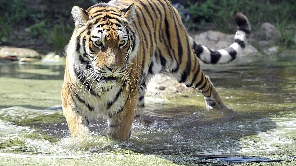 Female zookeeper, 55, is killed by Siberian tiger at Swiss zoo
