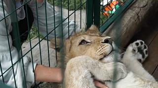 Rescued lion illustrates plight of thousands of other cubs