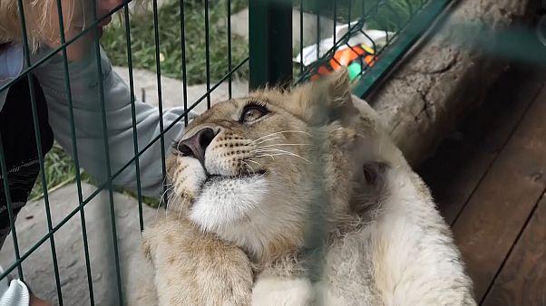 سیمبا   بچه شیر نجات یافته