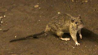 Bubonic plague can spread through contact with an infected flea or small mammal.