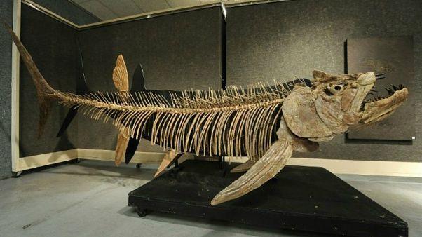 Arjantin'de keşfedilene benzer fosilleşmiş gerçek kemikli balık. Kansas / ABD