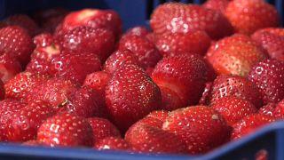 Cueillette de fraises dans une ferme à Hollola, en Finlande