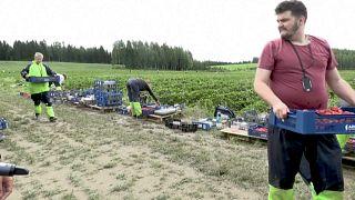 Erdbeerernte in Finnland