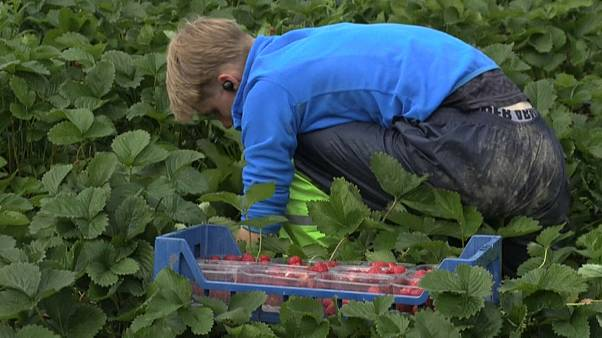 A young man picking strawberries in Hollola, southern Finland, July 2, 2020