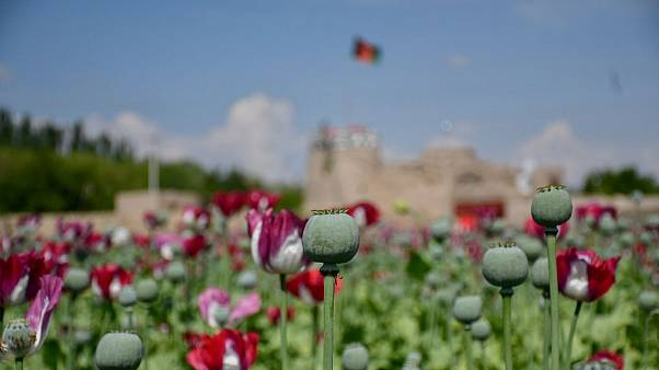 کشت و مصرف مواد مخدر در افغانستان؛ از هر ۱۱ شهروند، یک نفر مواد مخدر مصرف میکند