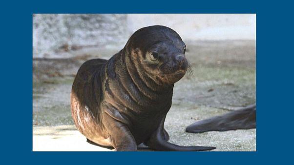 دیدار بچه فُک ۶ روزه با بازدیدکنندگان باغوحش اتریش