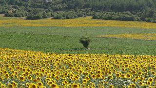 Çukurova ayçiçek tarlaları